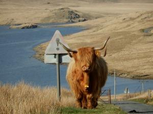 Highland Longhorn (c) Shafik Meghji